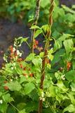 Planta de feijão vermelho que cresce em um jardim fotos de stock royalty free
