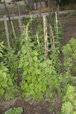 Planta de feijões verdes Imagem de Stock