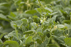 Planta de feijões verdes Imagens de Stock Royalty Free