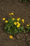 Planta de florecimiento del verna de Ficaria en el jardín Foto de archivo libre de regalías
