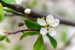Planta de florescência Foto de Stock Royalty Free