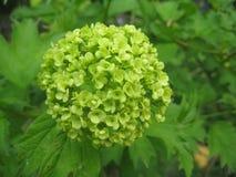 Planta de florescência Imagens de Stock