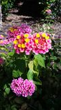 Planta de florescência cor-de-rosa Fotos de Stock