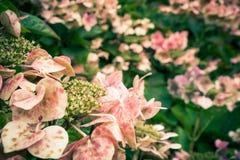 Planta de florescência da Irlanda Foto de Stock Royalty Free