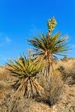 Planta de florescência da mandioca, Nevada Imagem de Stock