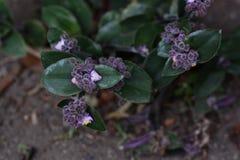Planta de florescência da polegada foto de stock royalty free