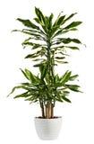 Planta de florescência de Fragrans do Dracaena fresco do olhar imagens de stock