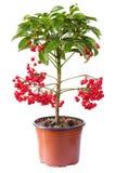 Planta de florescência do ardisia no flowerpot Fotografia de Stock
