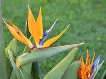 Planta de florescência do Strelitzia foto de stock royalty free