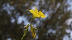 Planta de florescência do trevo na mola filme