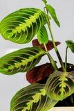 Planta de florescência Maranta em um potenciômetro em um fundo branco fotografia de stock royalty free