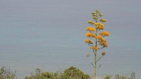 Planta de floresc?ncia da agave com o mar no fundo filme