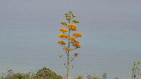 Planta de floresc?ncia da agave com o mar no fundo video estoque