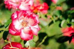 Planta de Floribunda de la mezcla de Betty Boop Rose Yellow fotos de archivo libres de regalías