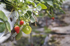 Planta de fresa foto de archivo