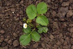 Planta de fresa Imagen de archivo