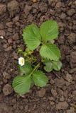 Planta de fresa Imagenes de archivo