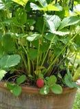Planta de fresa con la fruta en pote imágenes de archivo libres de regalías