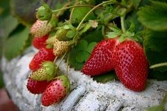 Planta de fresa en el pote del vintage Imagen de archivo libre de regalías