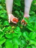 Planta de fresa en manos de la mujer Fotos de archivo libres de regalías
