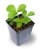 Planta de fresa en pote Imágenes de archivo libres de regalías