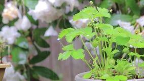 Planta de fresa hacia fuera en la lluvia