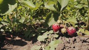 Planta de fresa jugosa orgánica madura en el jardín almacen de video