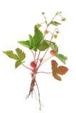 Planta de fresa salvaje Fotografía de archivo libre de regalías