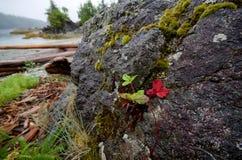 Planta de fresa salvaje en roca cerca de la costa fotografía de archivo