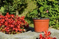 Planta de fresa y flores de Hoya, República Checa, Europa Fotos de archivo