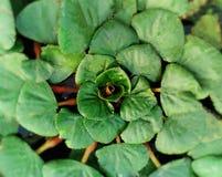 planta de fruto da água Fotografia de Stock