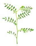 Planta de garbanzo Fotos de archivo