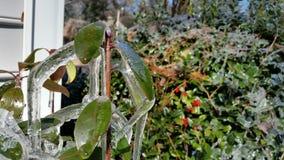 Planta de gelo Imagem de Stock Royalty Free