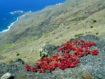 Planta de gelo vermelha no La Gomera Fotos de Stock Royalty Free