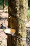 Planta de goma Imagenes de archivo