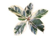 Planta de goma Fotografía de archivo libre de regalías