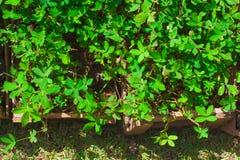 Planta de Grama Amendoim Imagens de Stock