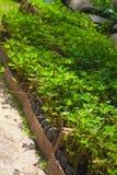 Planta de Grama Amendoim Fotos de archivo