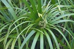 Planta de guarda-chuva na flor imagem de stock