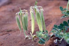 Planta de guisante de desierto de Sturt con las vainas fotos de archivo libres de regalías