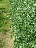 Planta de guisantes floreciente en un campo Toscana, Italia Fotografía de archivo