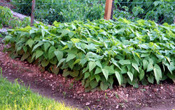 Planta de haba Imagen de archivo