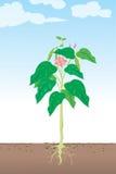 Planta de haba stock de ilustración