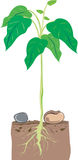 Planta de haba libre illustration