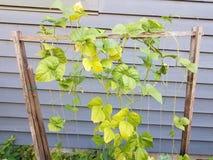 Planta de haba o viticultura en el enrejado de madera fotos de archivo libres de regalías