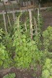 Planta de habas verdes Imagen de archivo