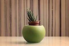 Planta de Haworthia Fasciata, sensação retro Fotos de Stock