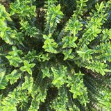 Planta de Hebe no jardim fotografia de stock