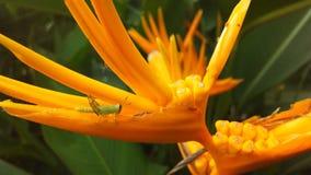 Planta de Heliconia que florece durante salida del sol en Koh Samui Island, Tailandia Imagenes de archivo