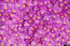 Planta de hielo brillante de la lavanda Foto de archivo